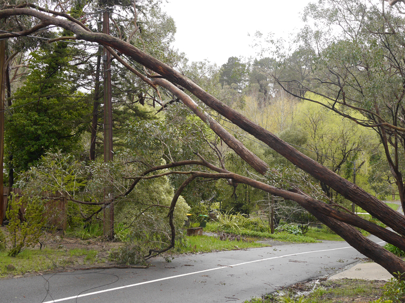 Adelaide Hills, Australia - October 4, 2016: Extreme weather and storm conditions caused a tree to fall on to power lines on Woorabinda