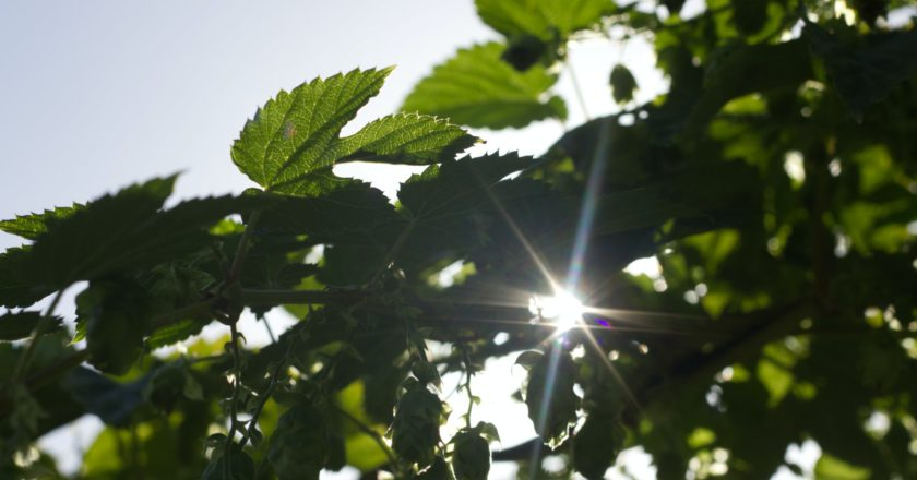 sun flare through green plant