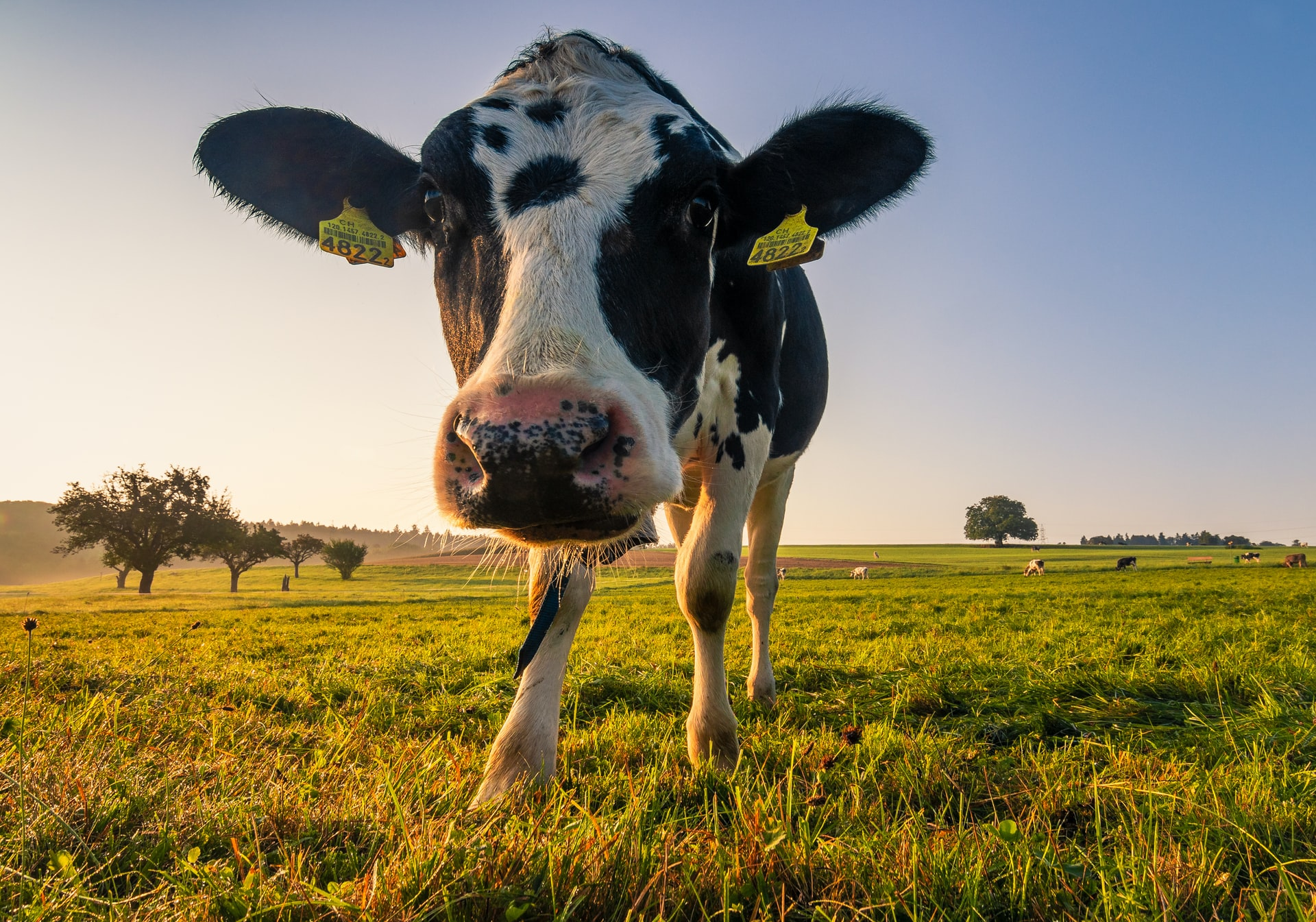 dairy, cow